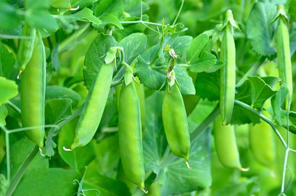 garden-peas-property-hampshire