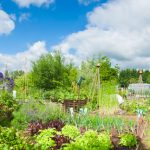 allotment veg challenge